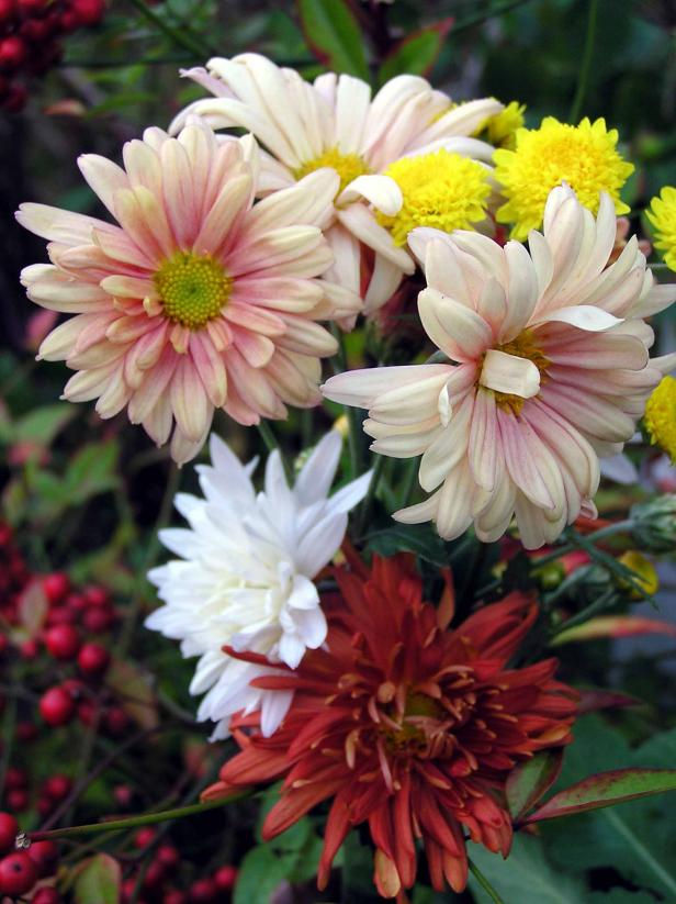 Garden mums are hardy autumn bloomers.