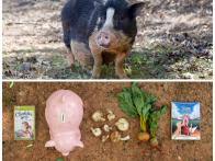 Animal Diaries: The Pig