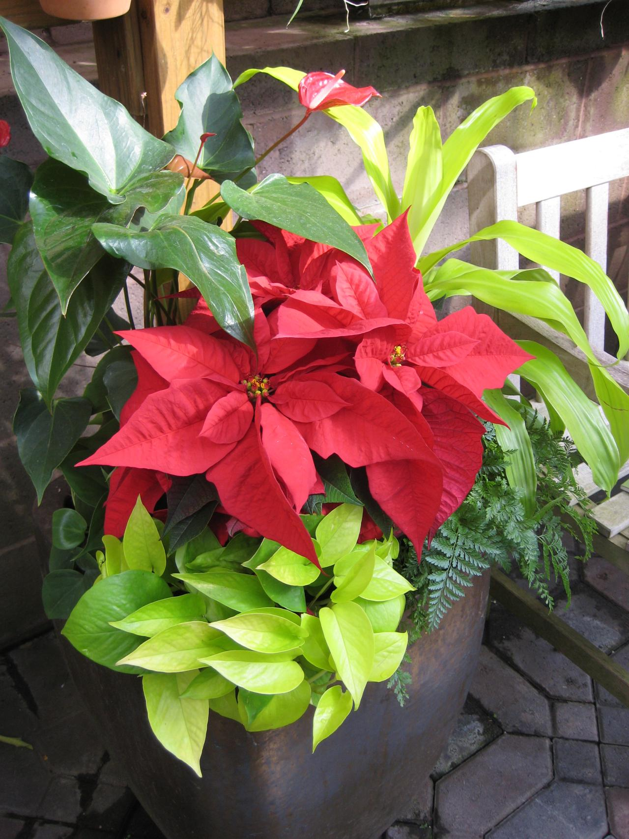 Mix Houseplants With Holiday Plants and Flowers | HGTV on holiday plants, life plants, amazon plants, thanksgiving plants, more plants, halloween plants, indoor plants, photography plants, food plants, school plants, wedding plants, tumblr plants, chocolate plants, forever plants, love plants, diy plants, gardening plants, family plants, summer plants, art plants,