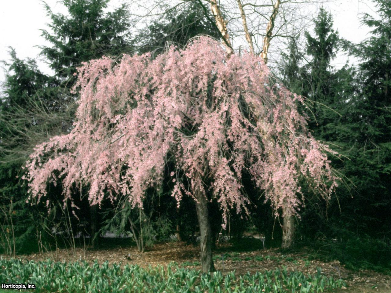 Growing A Weeping Cherry Tree Hgtv
