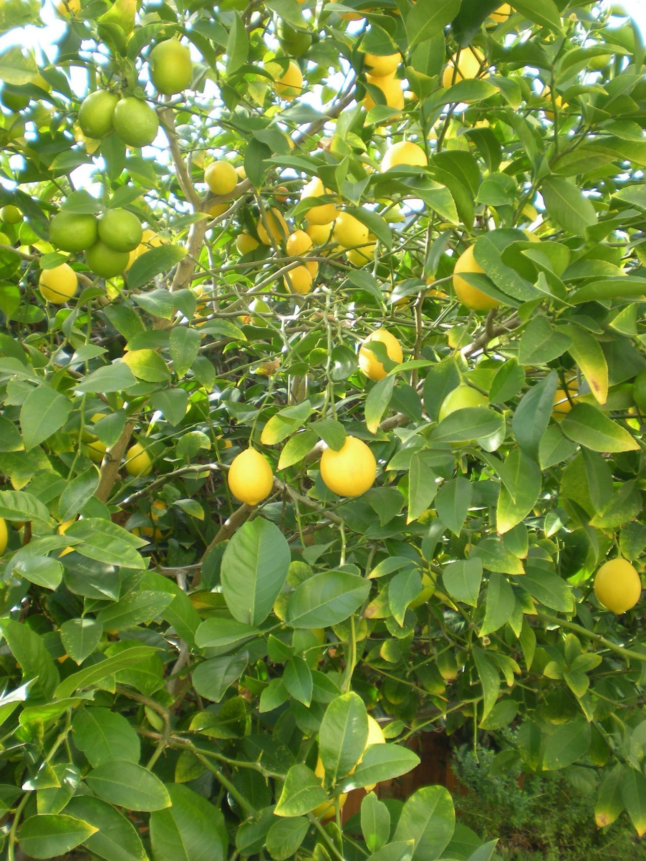Main Squeeze Growing Citrus Trees HGTV