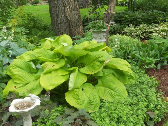 The Best Hostas To Plant In Sun Diy