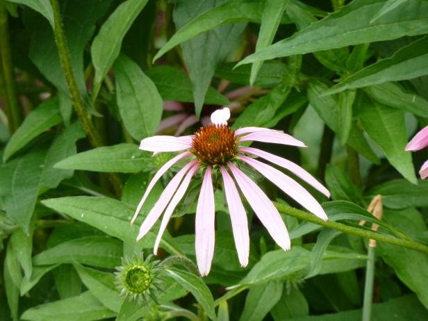 No Summer is complete without Echinacea