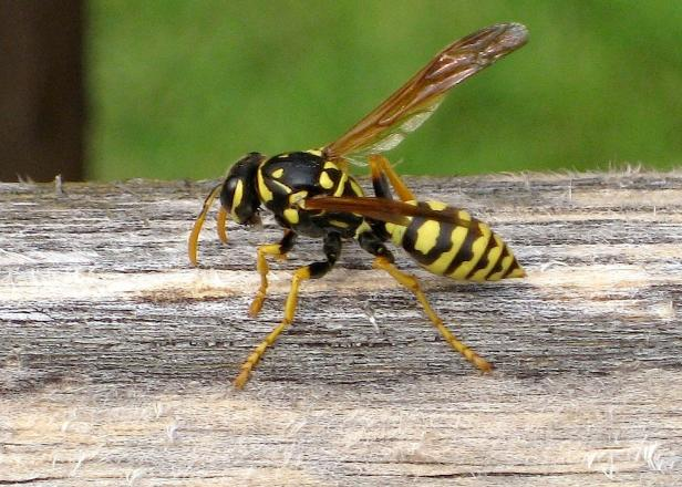 Unlike honeybees, yellow jackets can sting repeatedly when provoked.
