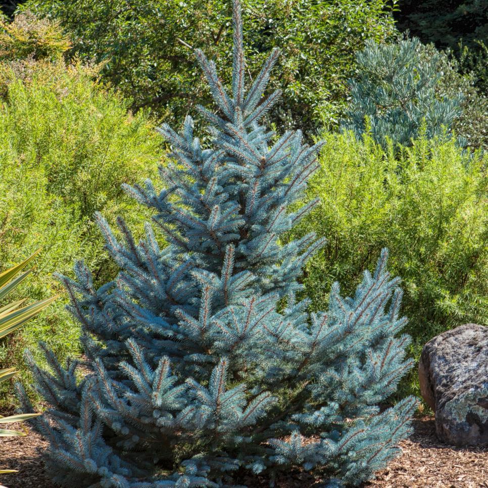 Tree Identification Pictures Conifers Hgtv