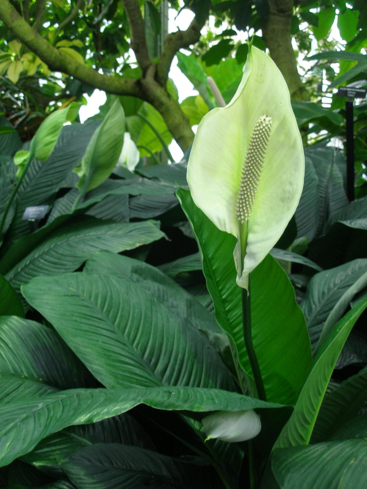 Peace Lily Or Spathiphyllum