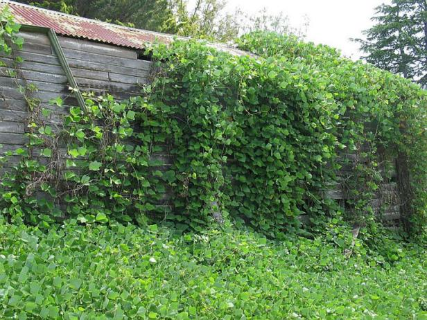 In the South, kudzu is said to grow a foot per day in summer, climbing over anything in its way.