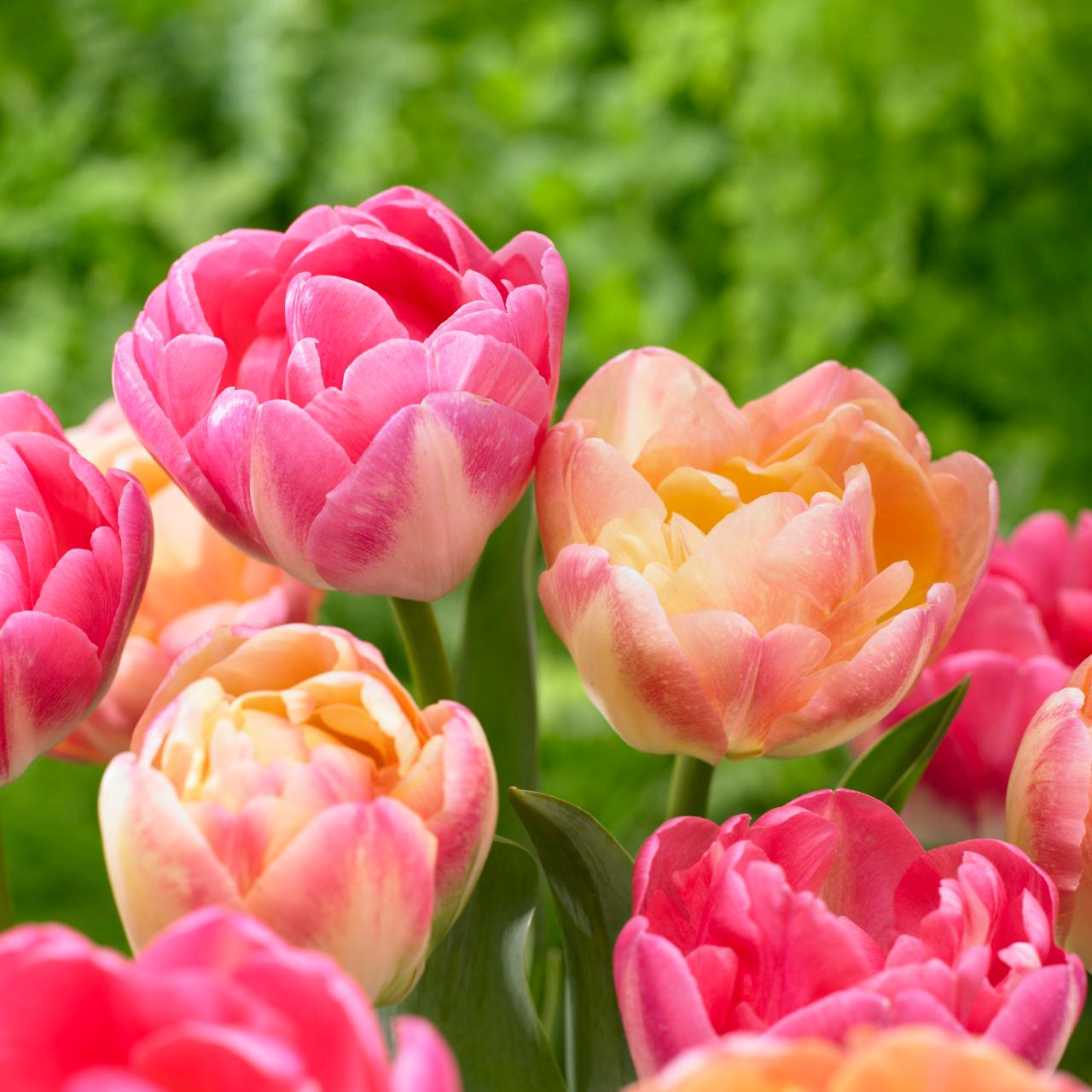 Tulips And Other Flowers That Change Colors Hgtv