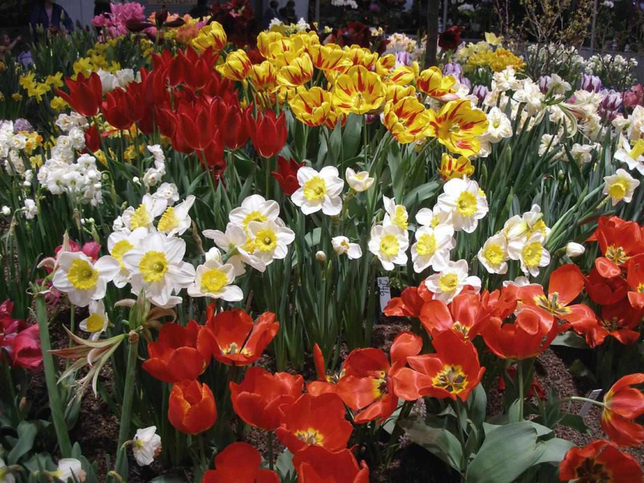 How To Blend Tulips With Annuals And Perennials In The Garden Hgtv