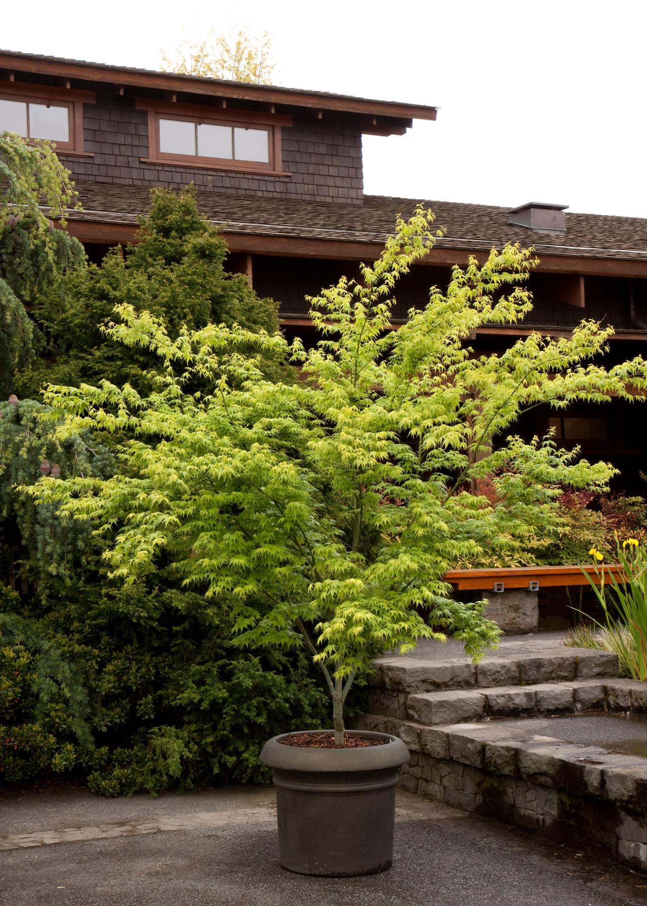 Japanese Maples: Planting, Growing and Care Tips | HGTV