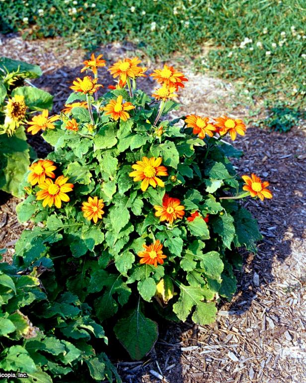 Tithonia rotundifolia ~Fiesta Del Sol~ (01) Habit