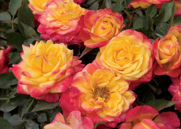 Miniature Rose 'Rainbow Sunblaze'