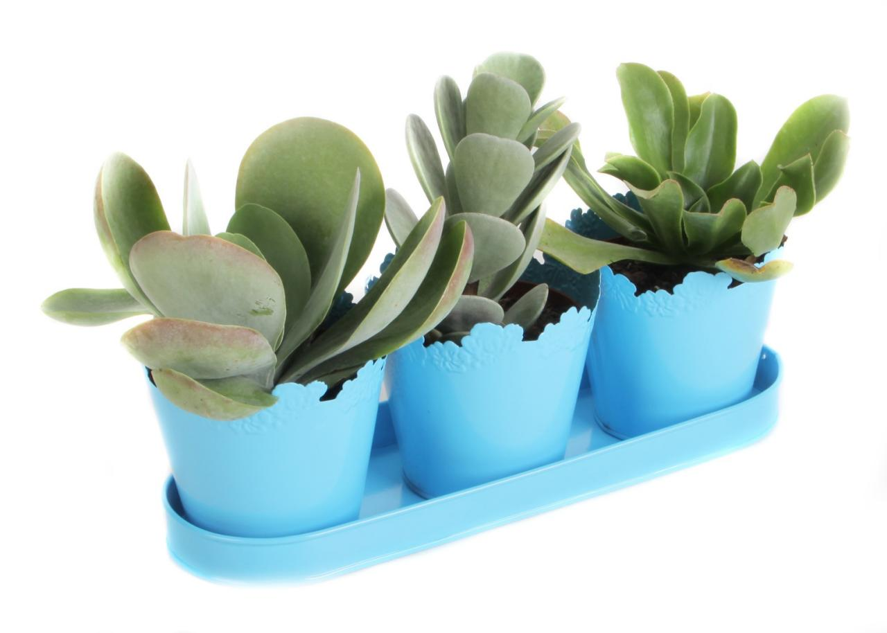 How To Propagate Succulents Hgtv