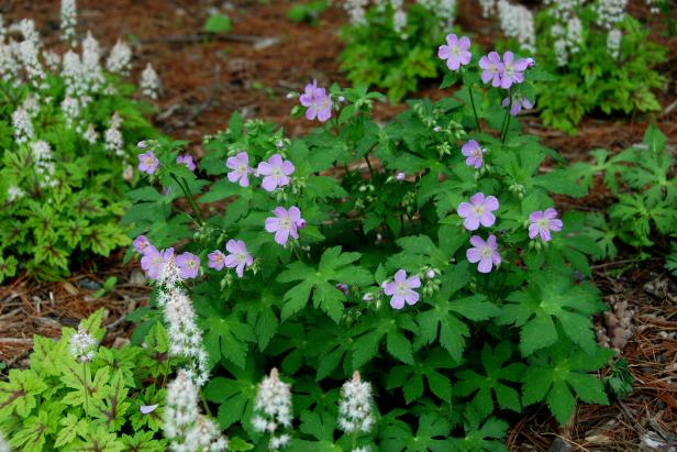 Wild Geranium And Foamflower Shade Garden Perennials