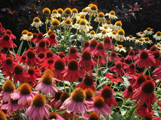 Coneflower Explosion in New York