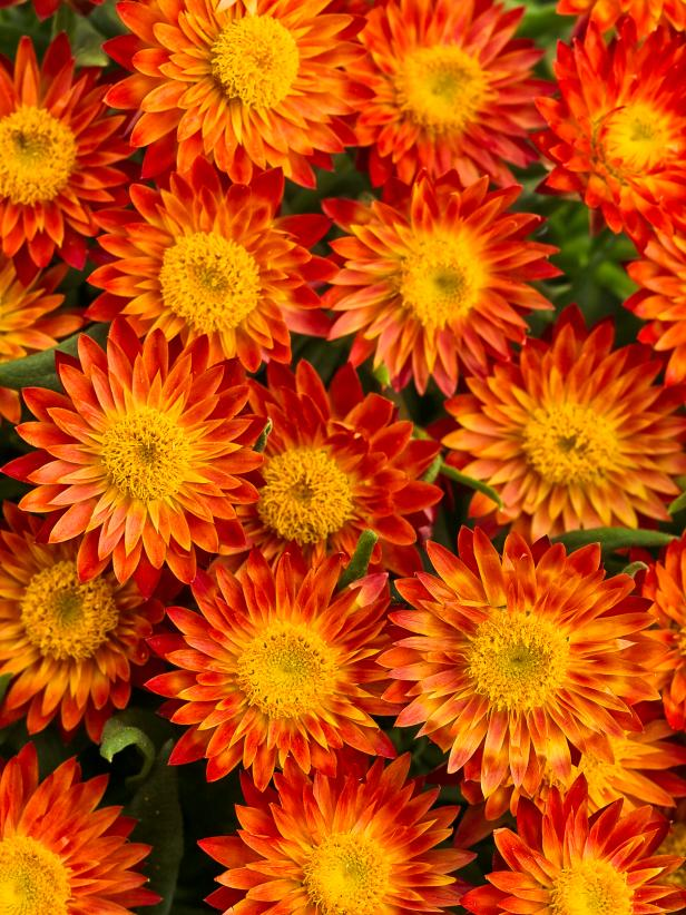 Top orange annual flowers for your garden hgtv photo by proven winners at provenwinners mightylinksfo