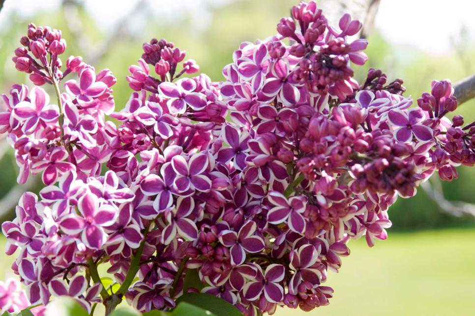 18 lilac varieties hgtv mightylinksfo