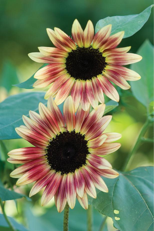 'Strawberry Blonde' Sunflower - Types of Sunflowers