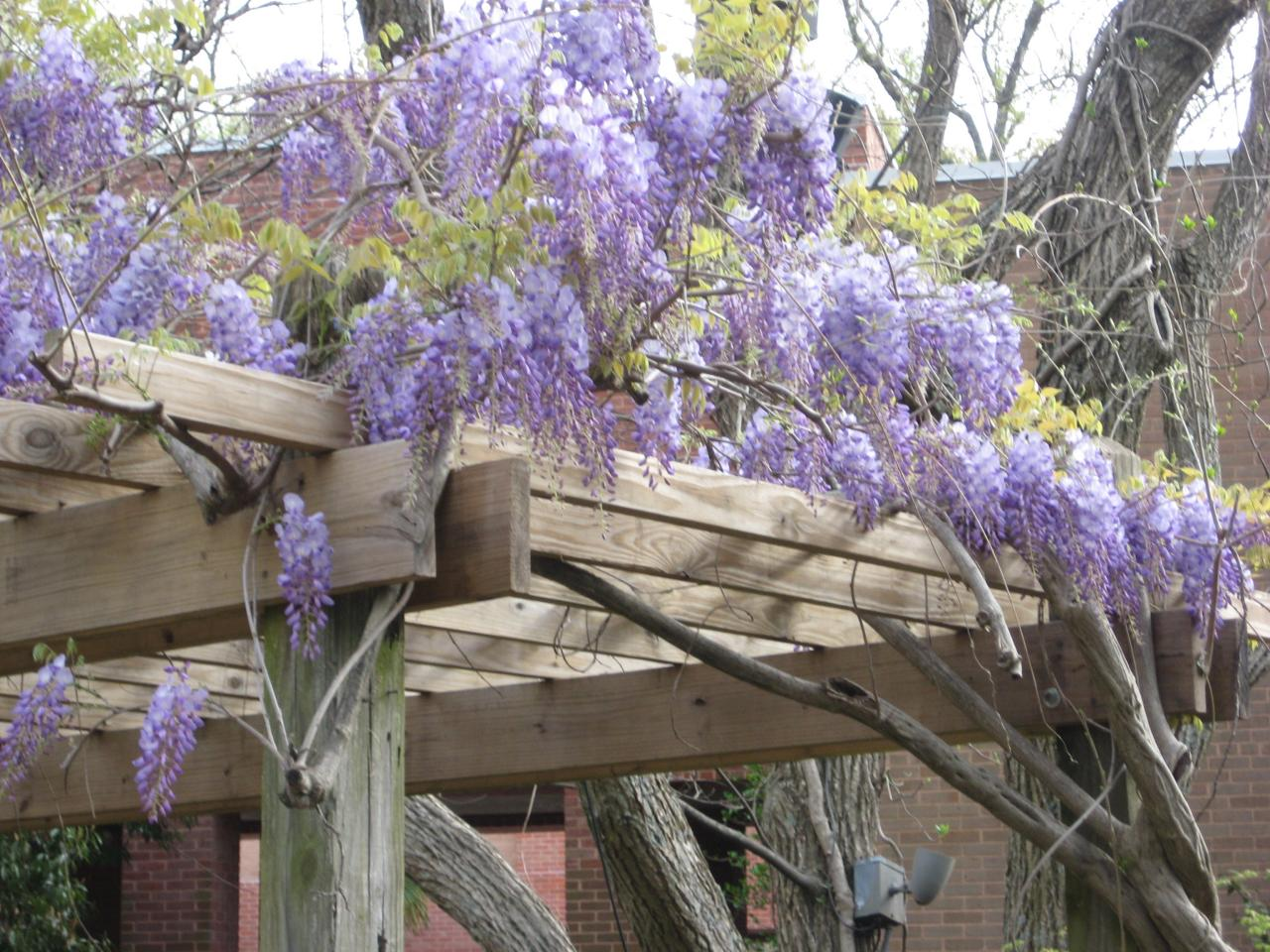 Design Ideas Fro Climbers And Wall Shrubs Guide To Climbers And Wall Shrubs Hgtv