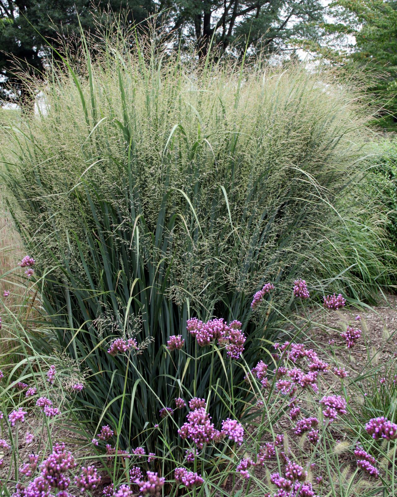 8 stunning ornamental grasses hgtv for Ornamental grass bed design