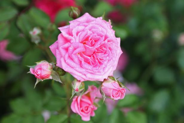 "2014 Biltmore International Rose Trials: ""Sweet Drift"""
