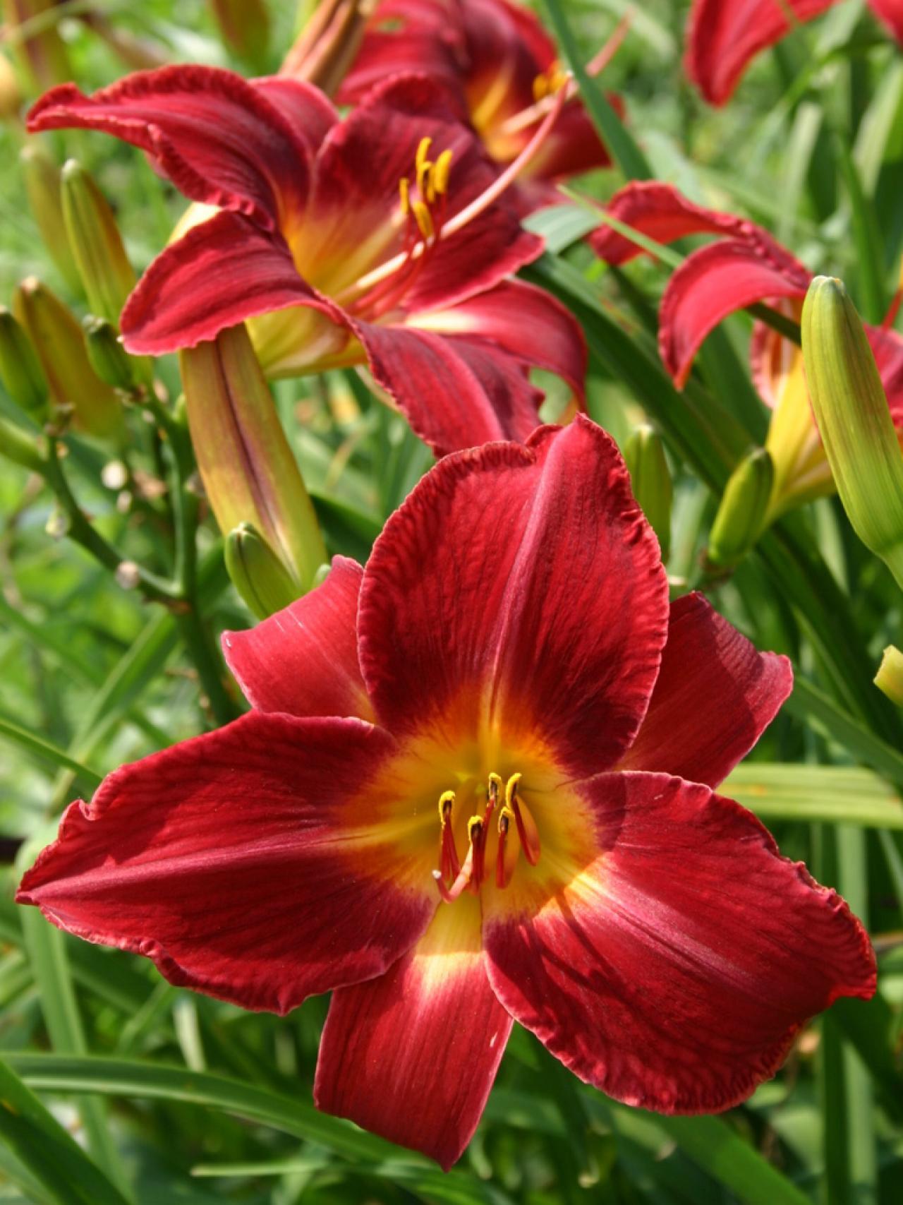 How to plant daylilies hgtv planting daylilies izmirmasajfo