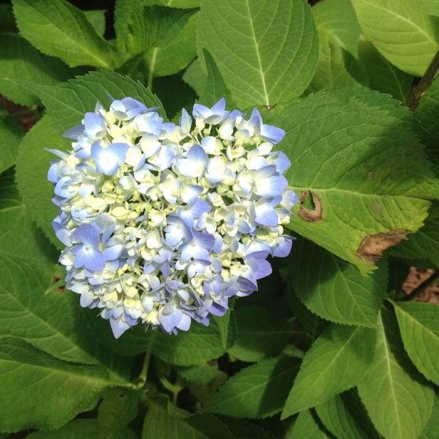 Preferred A Guide to Hydrangea Disease and Pest Problems | HGTV GX48