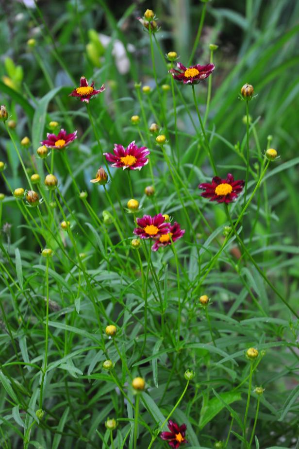 Coreopsis 'Red Shift' starts out with yellow blooms and red centers, but changes to red in cooler weather.