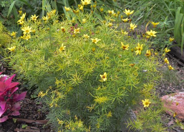Coreopsis 'Zagreb' is a bright threadleaf tickseed that looks good at the front of the sunny border.