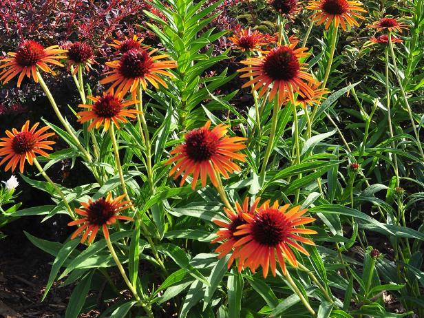 Perennials for Sunny Gardens