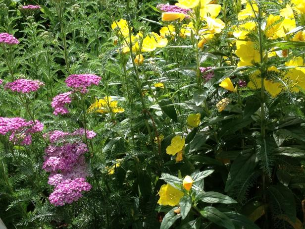 Pink Yarrow and Yellow Primroses