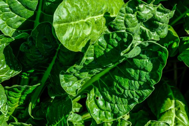 Perpetual Spinach, Beta vulgaris