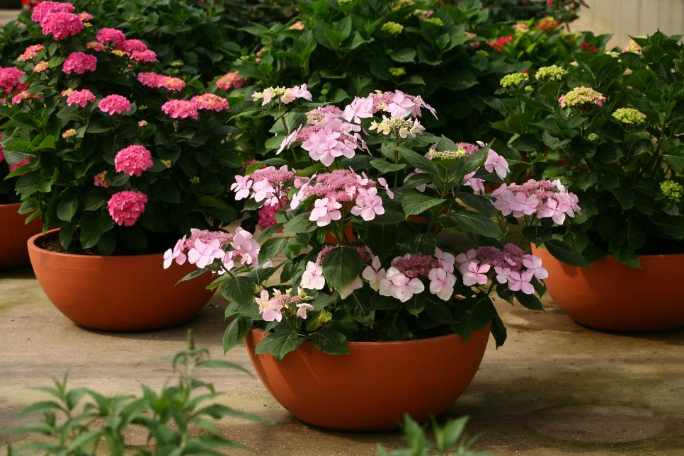 Hydrangeas: How to Prune Them | HGTV on dwarf umbrella tree care, landscaping care, pets care, geraniums care, plant care, african violets care, flower care,