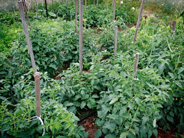 Your tomato plants will need some type of support; a cage or tied to a wooden stake are two of the most common methods.