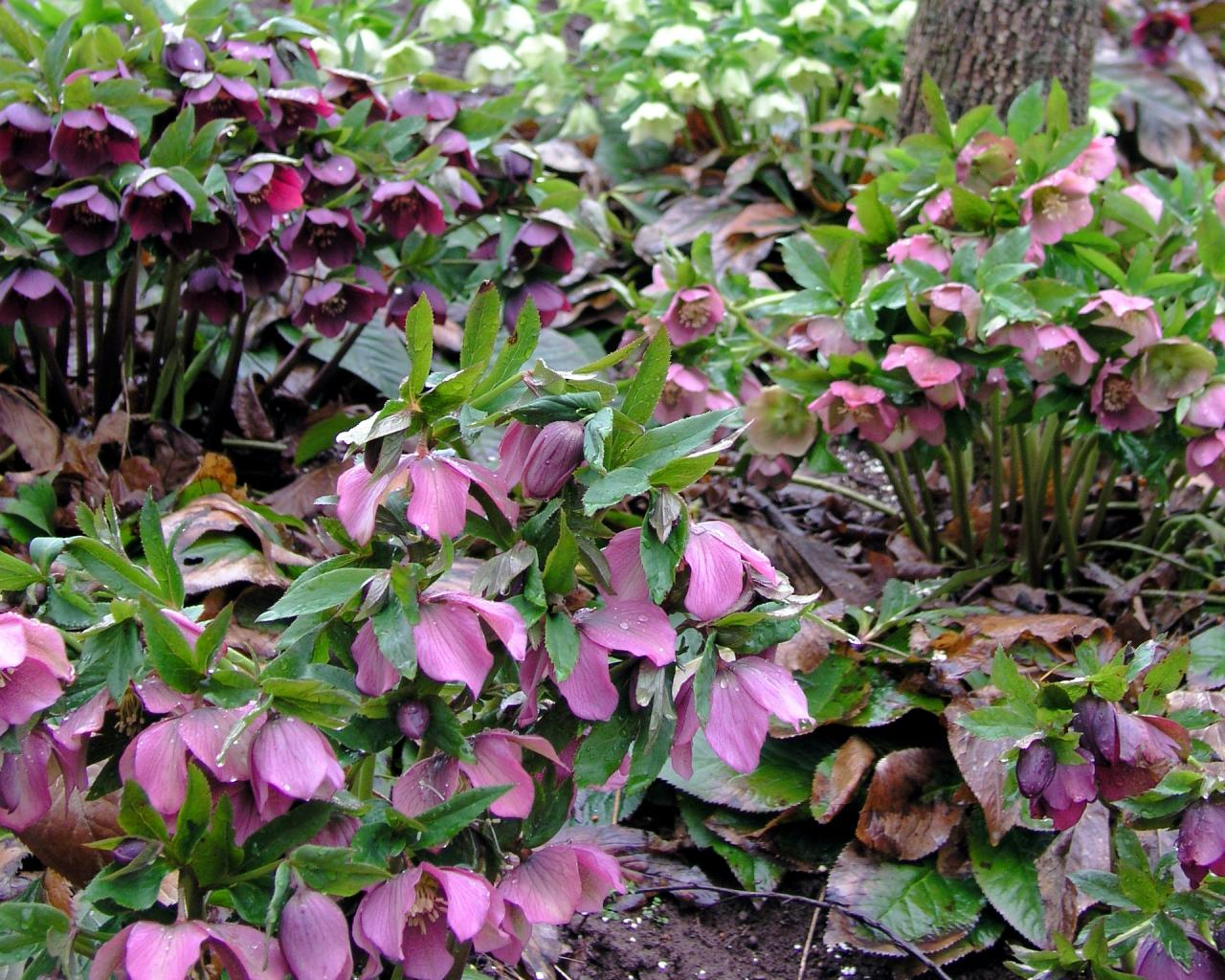 Perennials To Plant In Fall For Spring Color Hgtv