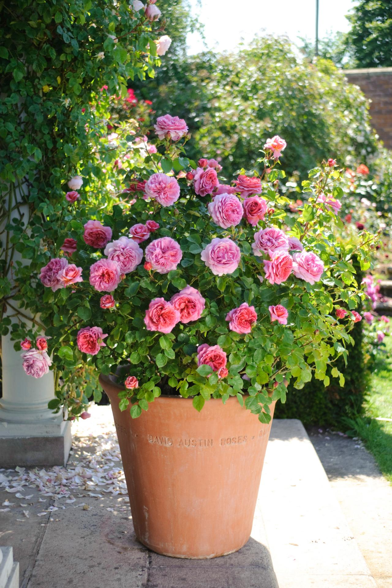How To Grow Patio Roses In Containers