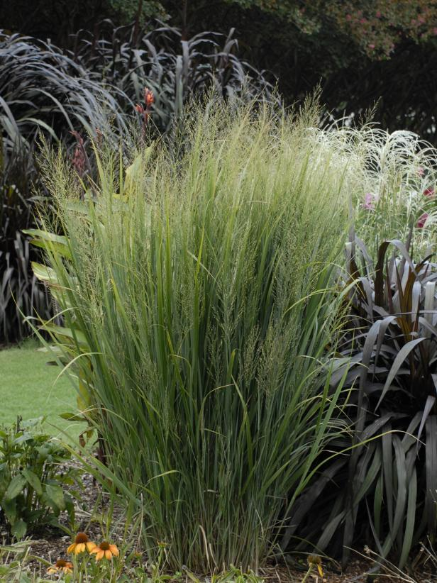 Annual Ornamental Grasses 13 terrific tall grasses hgtv photo by image courtesy of perennialresource workwithnaturefo