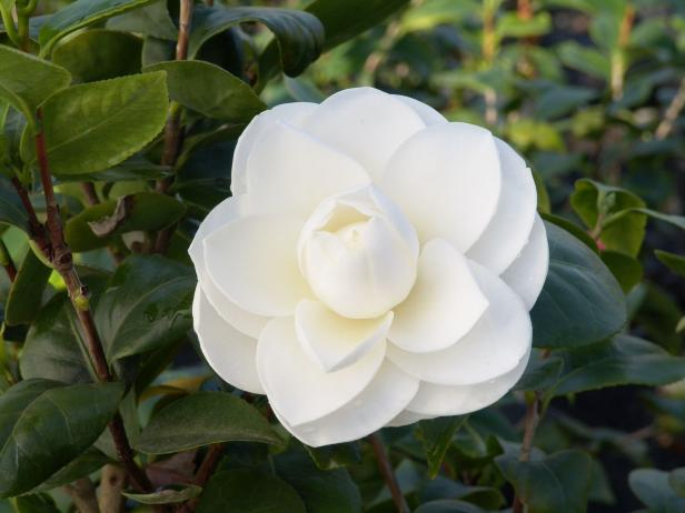 Favorite Camellia Varieties Plus Expert Planting And Growing Tips