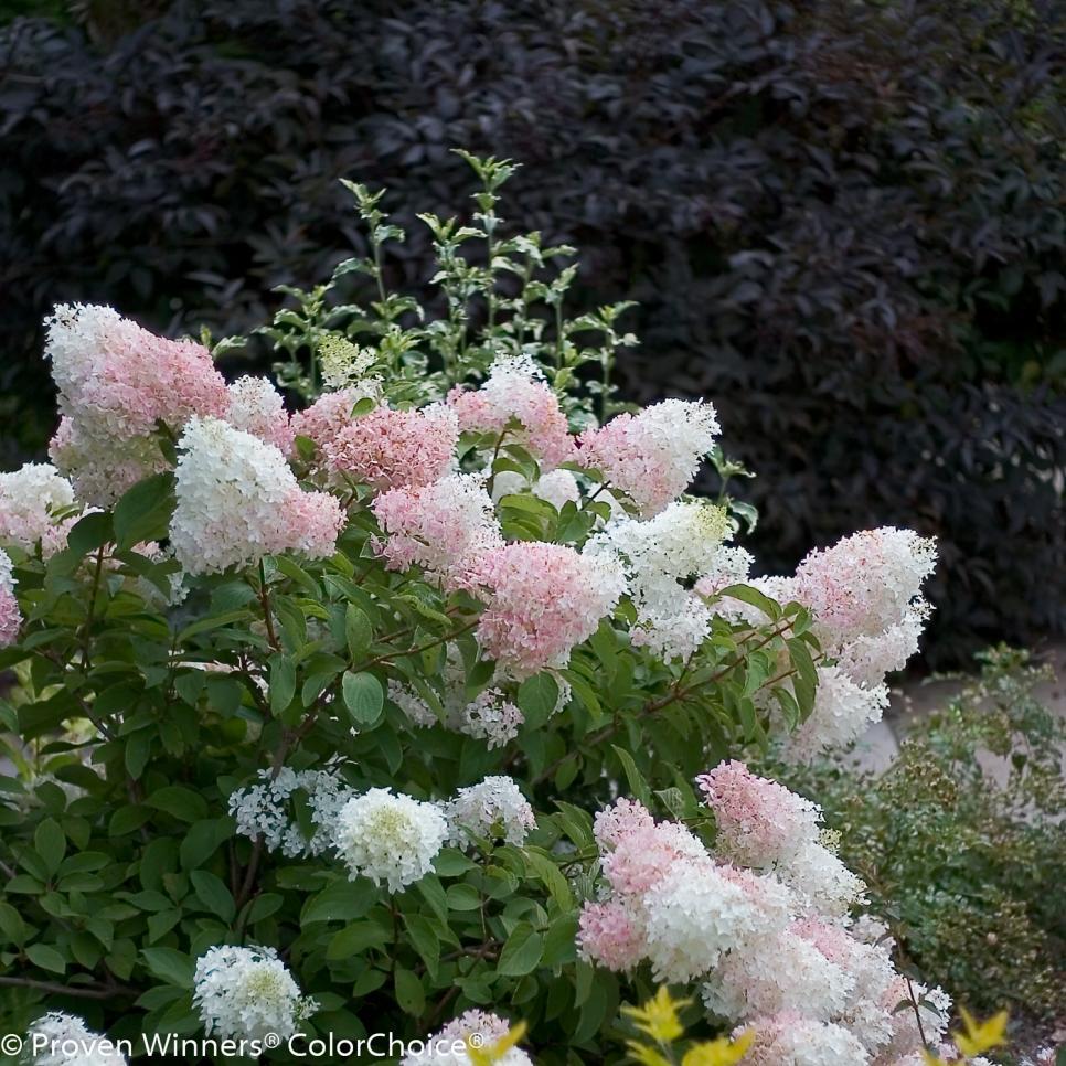 Hydrangea Paniculata Varieties Hgtv