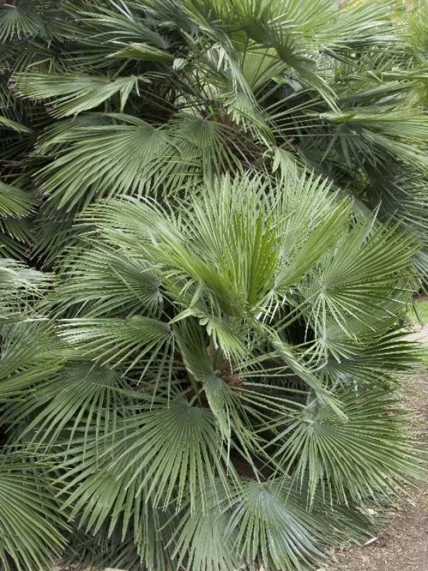 13 Cold Hardy Palm Trees Hgtv