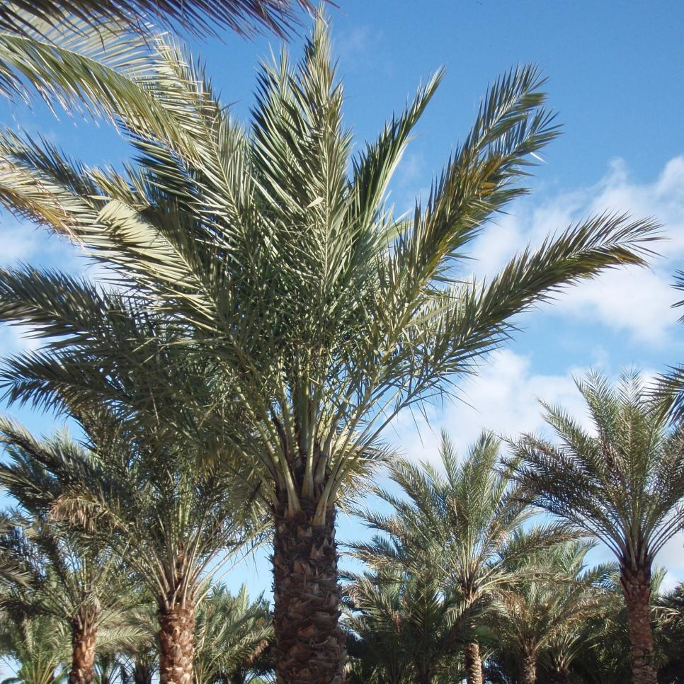 13 classic palm trees hgtv for Garden trees types