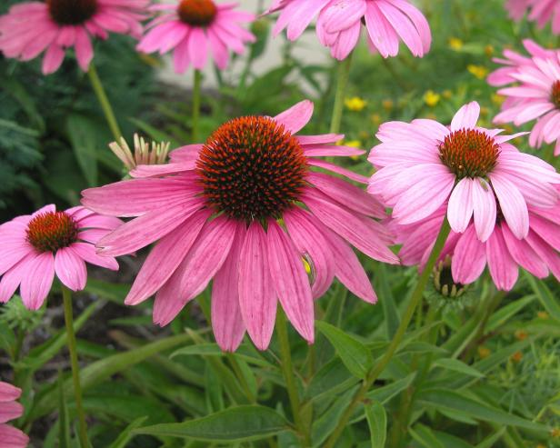 midsummer_coneflower
