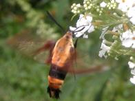 Clearwing Sphinx Moth