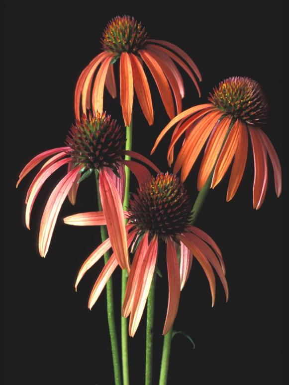 natives_Echinacea_meadowbrite