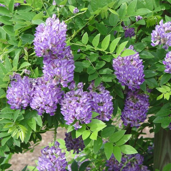 natives_Wisteria_longwoodpurple