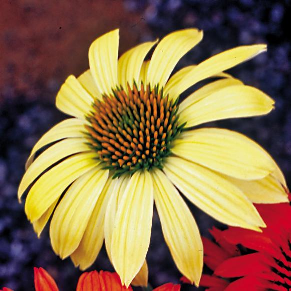 natives_Echinacea_Sunrise_WG