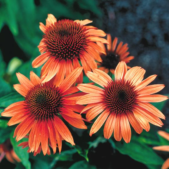 natives_Echinacea__Sunset_WG