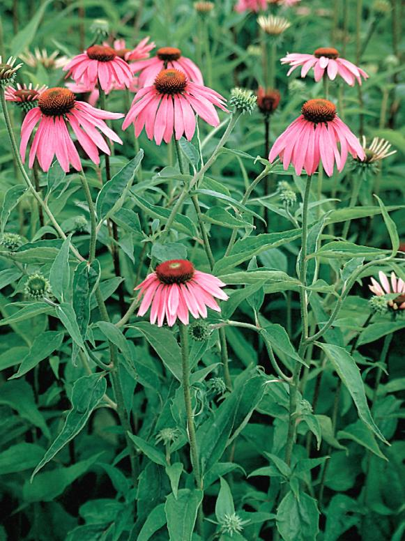 natives_echinacea_BrightStar