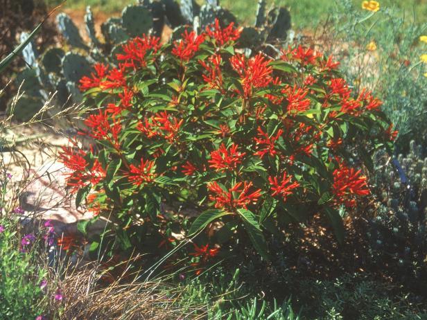 Garden Bush: Firebush, Scarlet Bush