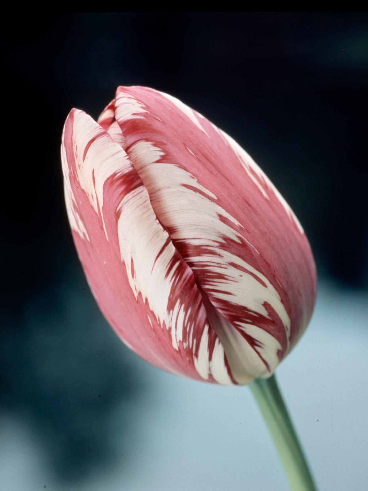 Cultivating Winter Tulips   HGTV